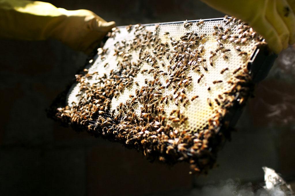 la miel silvestre analysis essay
